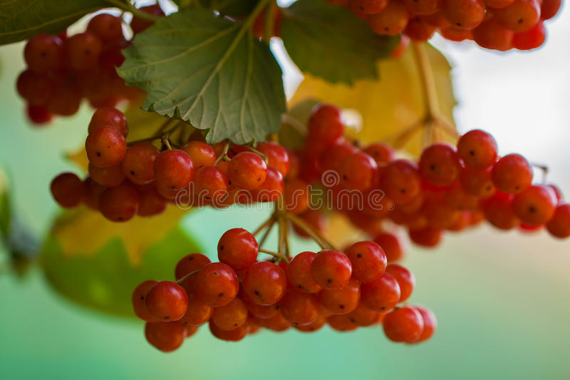 Viburnum is attractive to people with its beauty, ruggedness, and the ability heal. Viburnum is attractive to people with its beauty, ruggedness, and the ability stock image