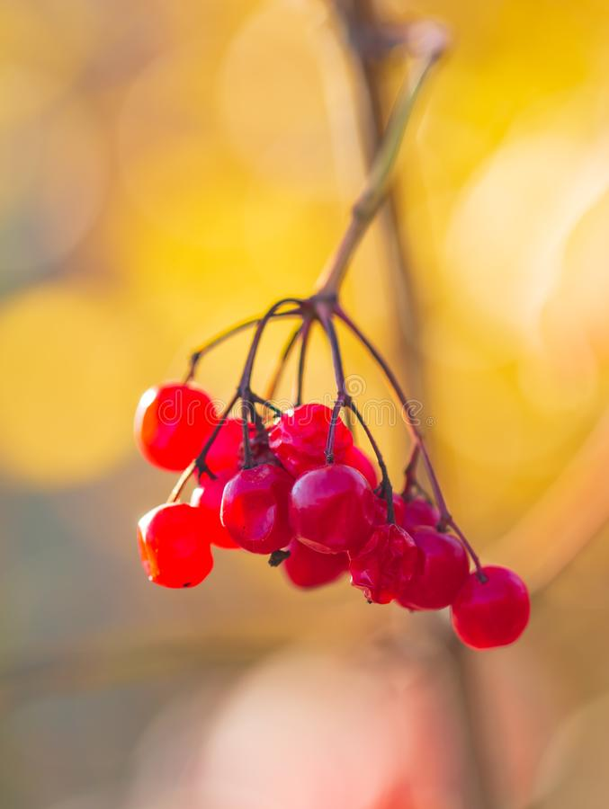 Viburnum berries on a branch stock photography