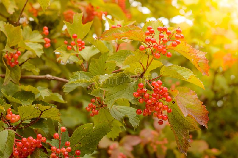 Viburnum berries on a bush on an autumn day. Nature theme.  stock photography