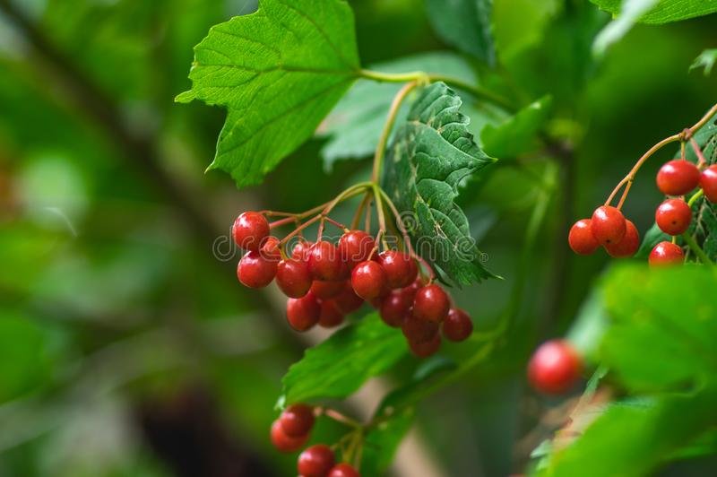 Viburnum berries on a bush royalty free stock image