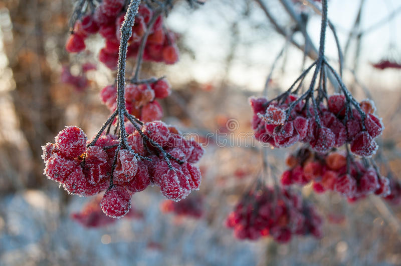Viburnum berries royalty free stock photography