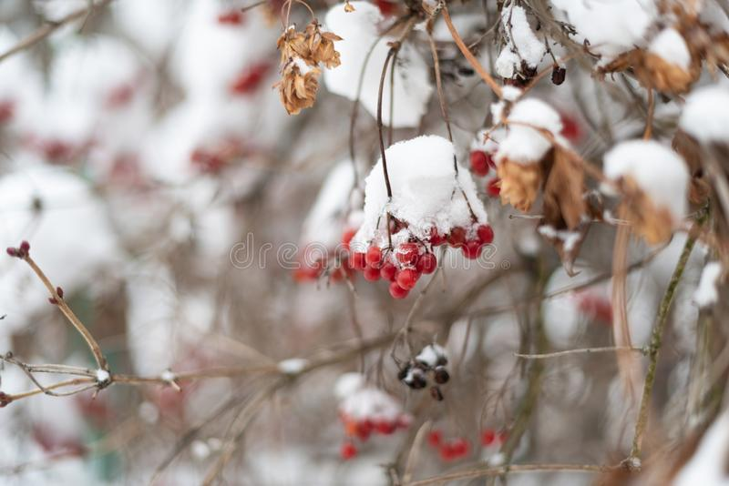 Viburnum berries hanging on a branch covered by the snow in the winter garden close up royalty free stock image