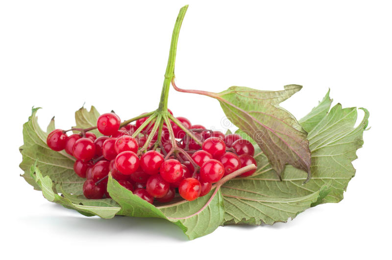 Download Viburnum berries stock image. Image of green, ripe, shiny - 31858411