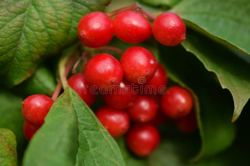 Viburnum berries are ripening on a bush royalty free stock image