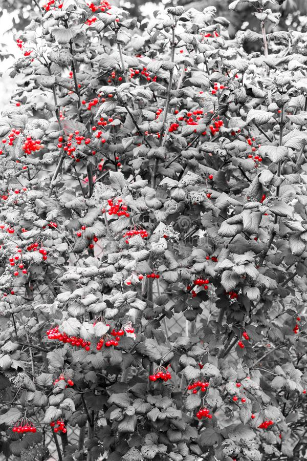 Red on black, so after all this healing berries viburnum! stock images