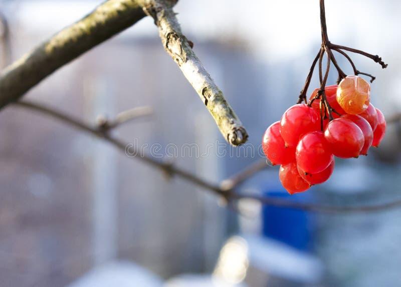 Viburnum berries at wintertime. stock images