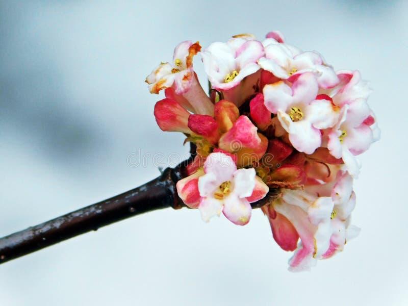 Viburnum x bodnantense stock foto