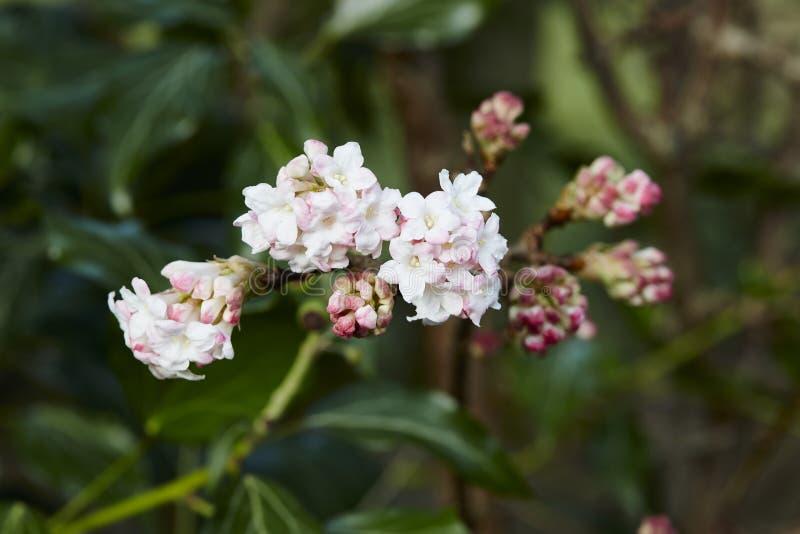 Viburnum bodnantense στοκ φωτογραφία με δικαίωμα ελεύθερης χρήσης