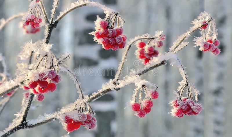Viburnum branch with red berries hoarfrost covered close up stock image