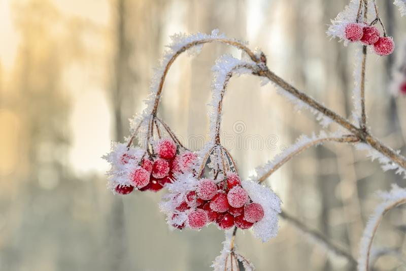 Viburnum branch with red berries hoarfrost covered close up stock images