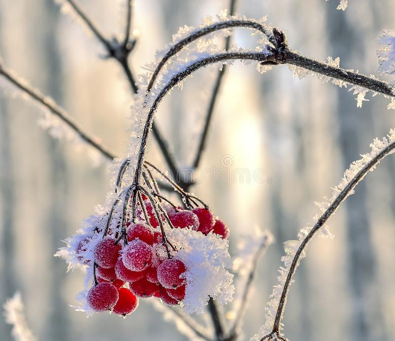 Viburnum branch with red berries hoarfrost covered close up stock photos