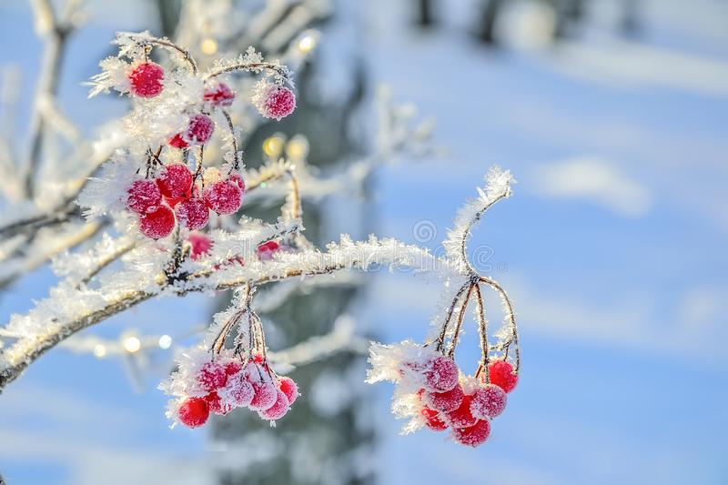 Viburnum branch with red berries hoarfrost covered close up royalty free stock image