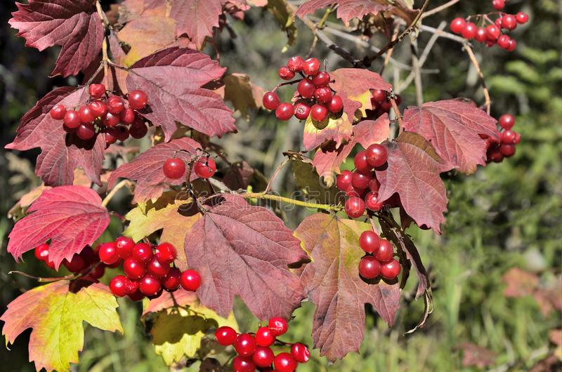 Viburnum branch with ripe red berries and colorful autumnal leav stock photos