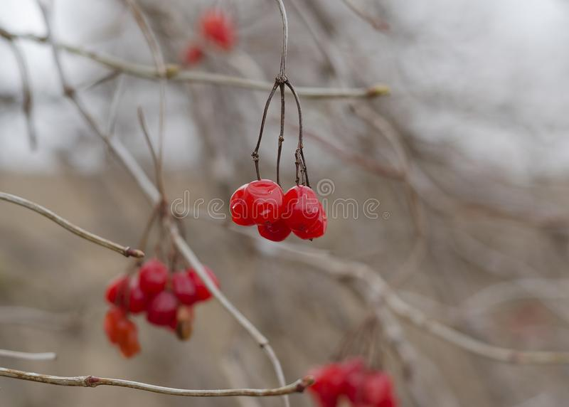 Viburnum on the branches of a tree stock image