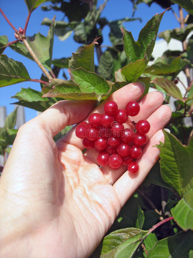 Viburnum bunch in woman's hand on the bush royalty free stock images