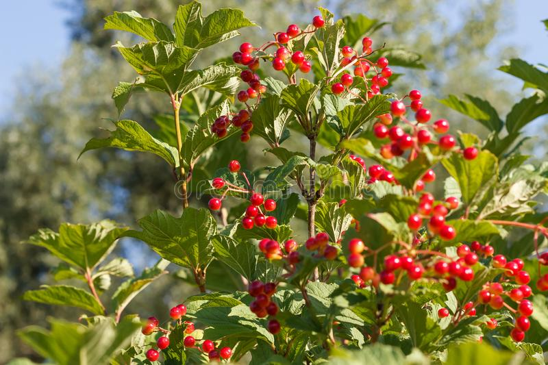 Viburnum bush blooms and gives berries in the sun in the summer in the spring in the autumn royalty free stock photography
