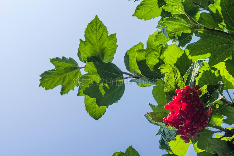 Viburnum bush with a bunch of ripe berries against the blue sky. royalty free stock photos