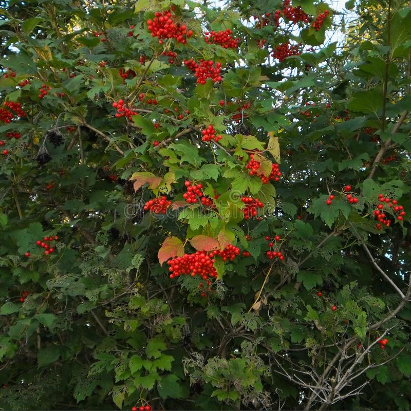Viburnum bush with bunches of red berries, shrub or small tree of temperate and warm regions. Viburnum bush with bunches of red berries, shrub or small tree stock photo
