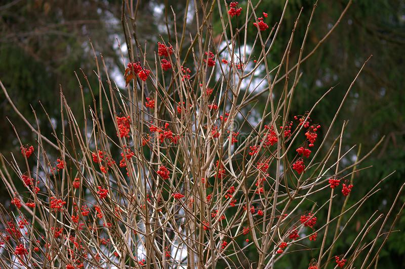 Viburnum bush with red berries. royalty free stock photos