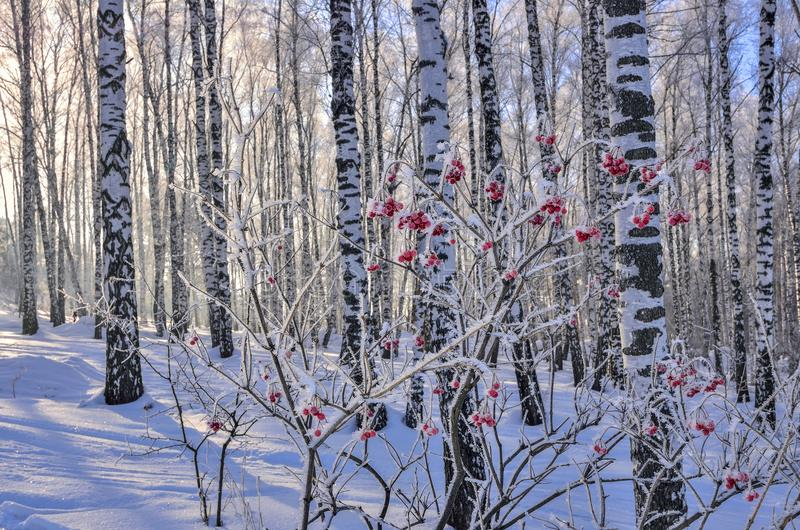 Viburnum bush with red berries hoarfrost covered in birch forest stock images