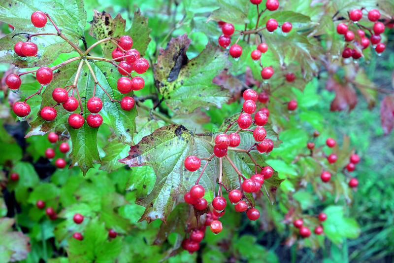 Viburnum bush with ripe red berries after rain stock photos