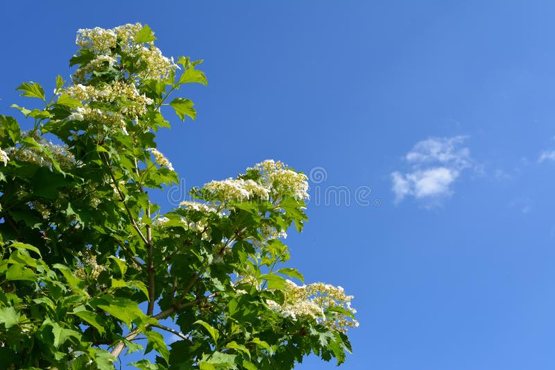 Viburnum bush with white flowers and green leaves on the background of blue sky with white cloud. Spring garden stock image