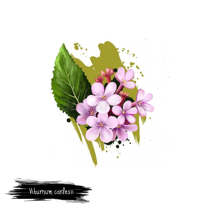Digital art illustration of Viburnum carlesii isolated on white. Hand drawn flowering bush Arrowwood. Colorful botanical drawing. Viburnum carlesii isolated on stock illustration