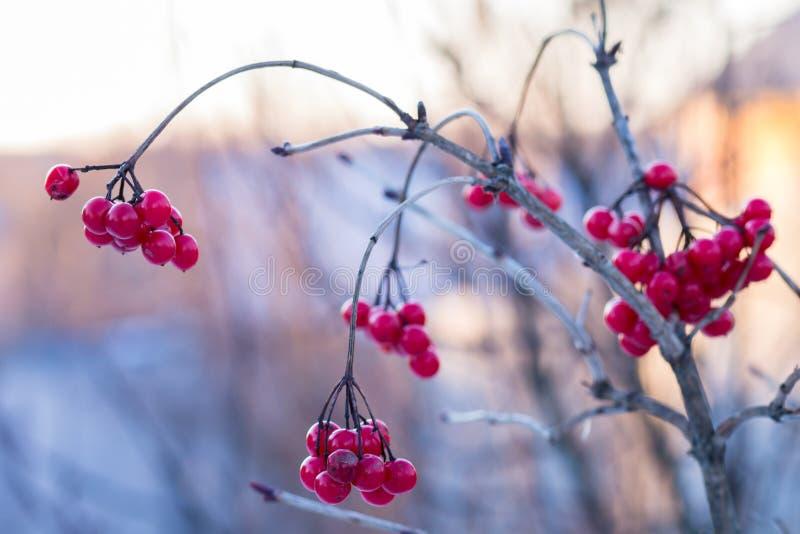 Viburnum congelado no dia ensolarado do inverno foto de stock