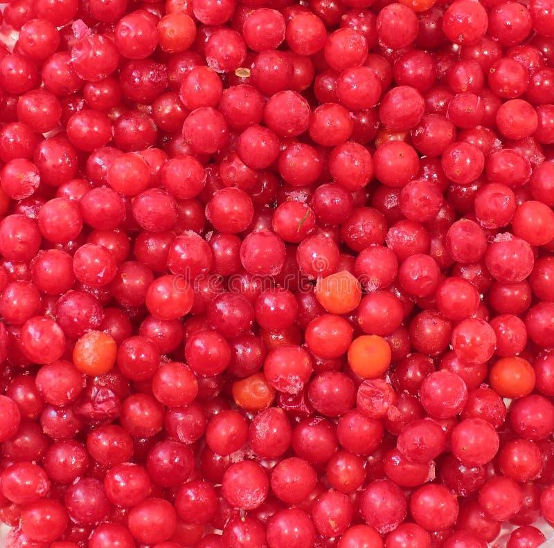 Viburnum congelato fotografie stock libere da diritti