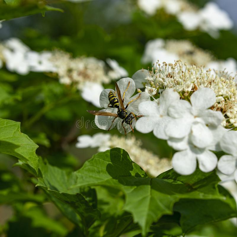 Viburnum de floraison image libre de droits