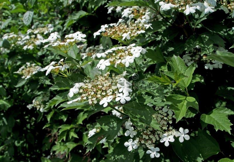 Viburnum de floraison de Bush dans le jardin images stock