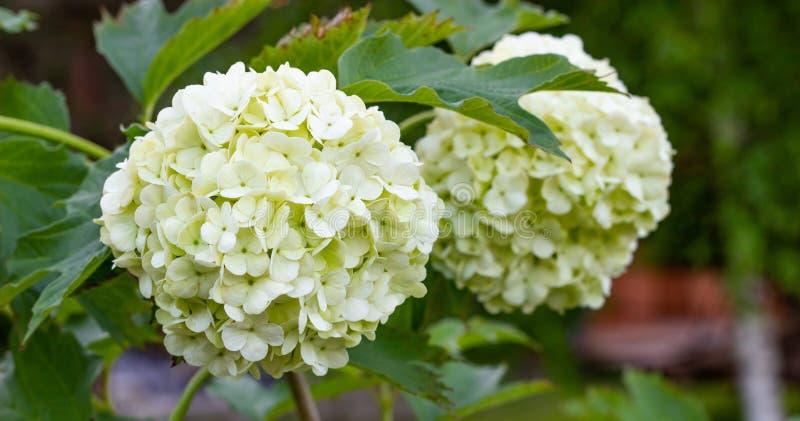 Viburnum de floraison dans le jardin, boules blanches florales sur un buisson de viburnum am?nagement photographie stock