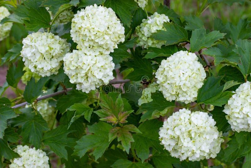 Viburnum de floraison dans le jardin, boules blanches florales sur un buisson de viburnum am?nagement photos libres de droits