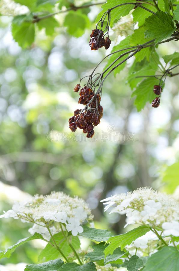 Viburnum de floraison et vieilles baies sèches de viburnum dans le jardin image stock