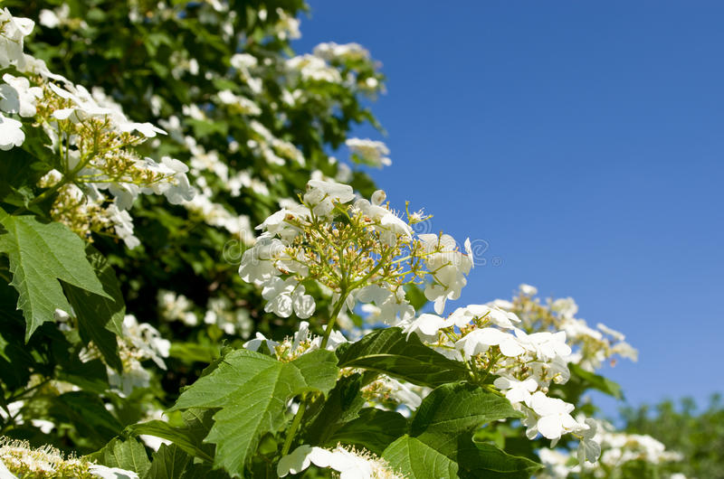 Viburnum de florescência foto de stock