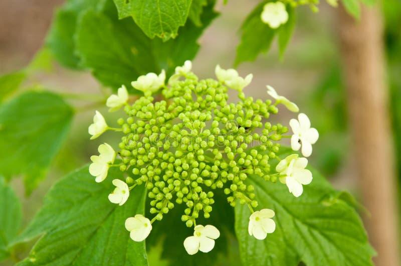 Viburnum de florescência fotos de stock