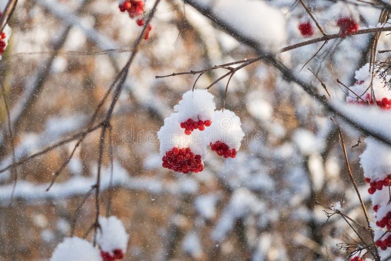 Viburnum in de sneeuw stock foto's