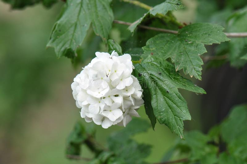 Viburnum de Snowball de Chinois photos stock