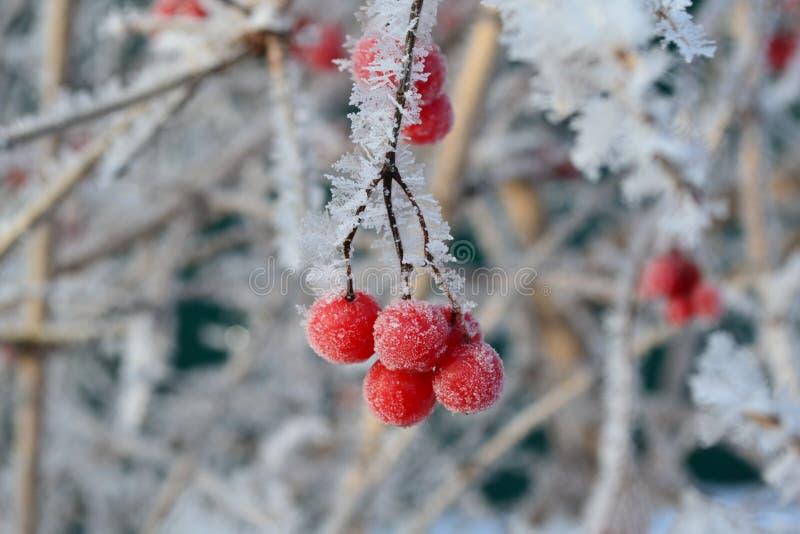 Viburnum in de winter met vorst stock afbeelding