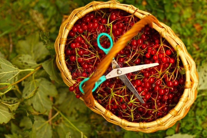 Viburnum, der Beeren im Korb mit Scheren erntet lizenzfreies stockbild