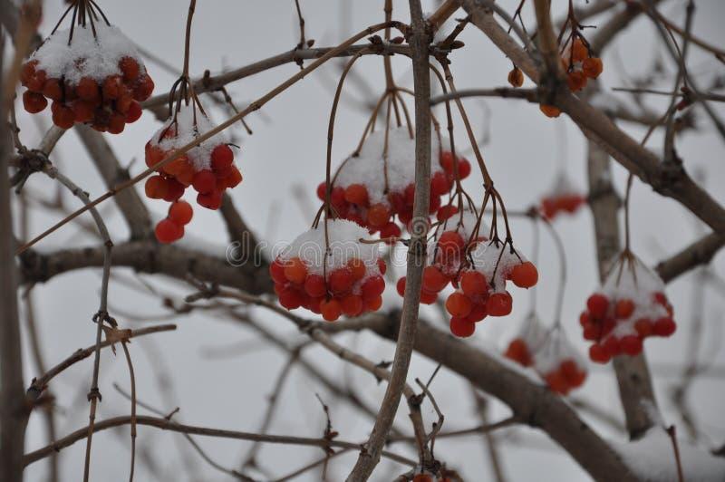 Viburnum en la nieve imagenes de archivo