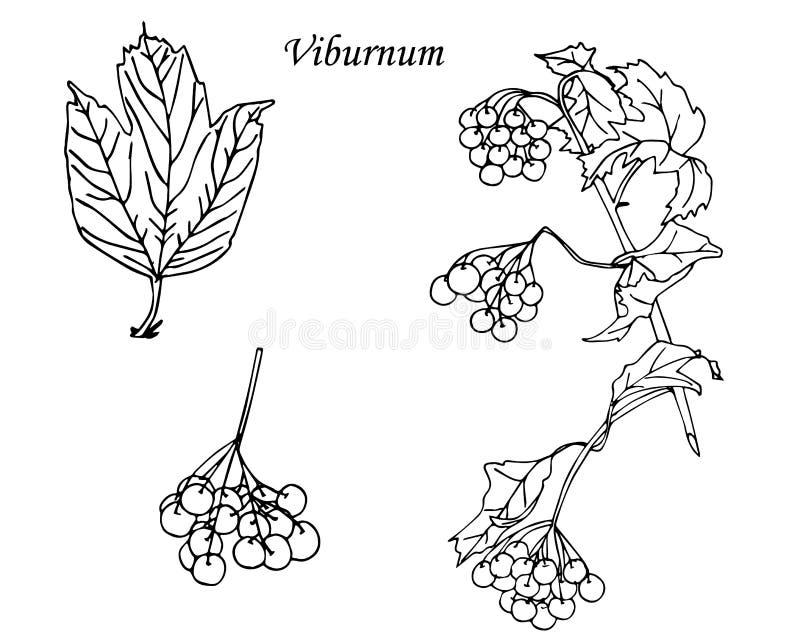 viburnum esboço Gráficos tirados mão ilustração do vetor