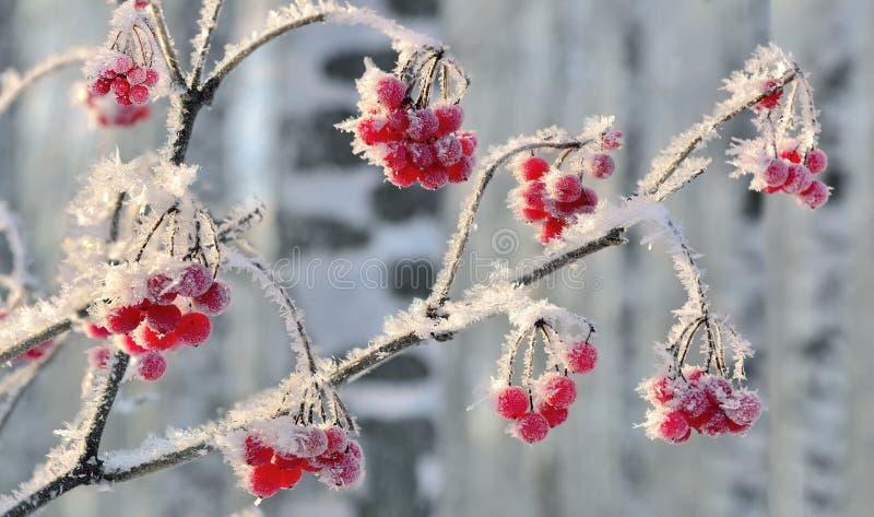 Viburnum gałąź z czerwonym jagody hoarfrost zakrywał zamknięty up obraz stock