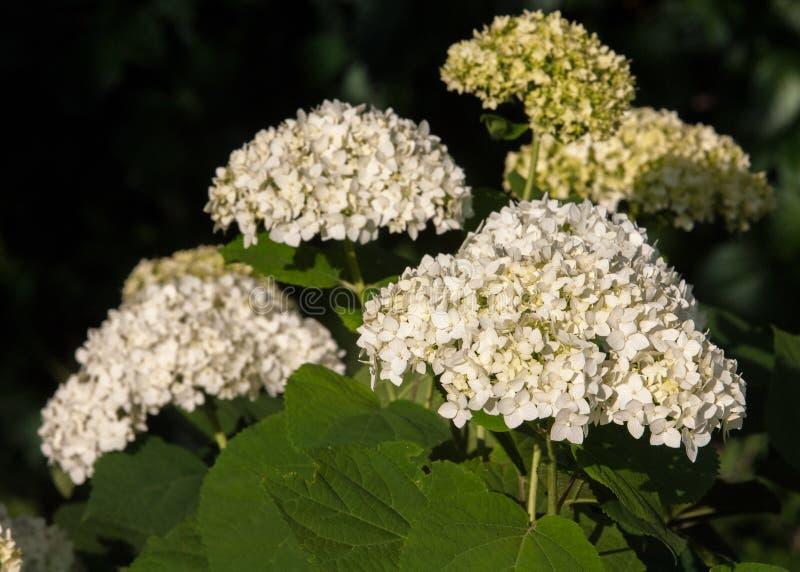 viburnum, guelder wzrastał Jednakowy ściśle połączone highbush cranberry, ja szeroko kultywuje w Północna Ameryka deciduous E fotografia stock