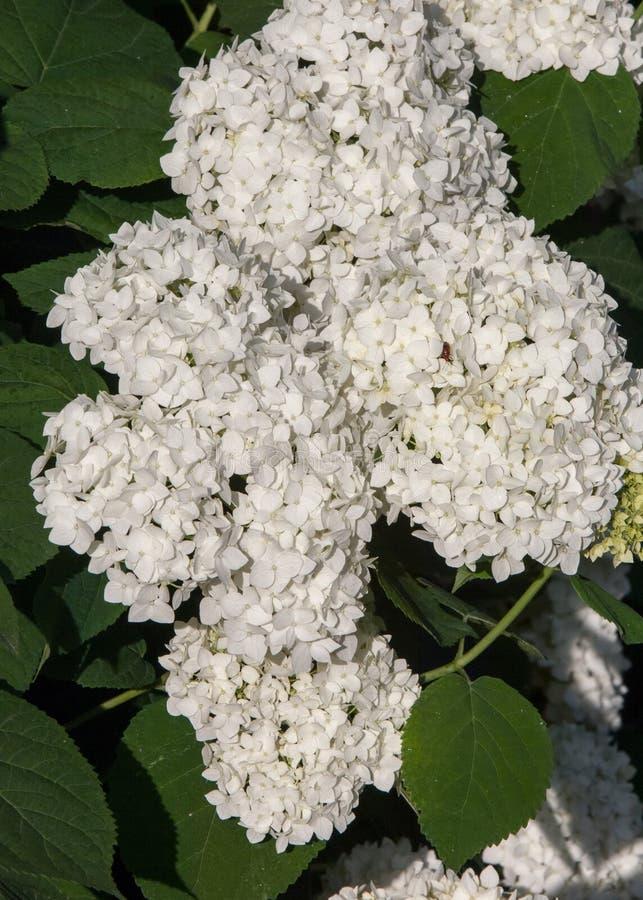 viburnum, guelder wzrastał Jednakowy ściśle połączone highbush cranberry, ja szeroko kultywuje w Północna Ameryka deciduous E obrazy royalty free