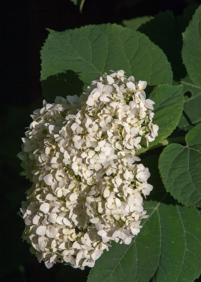 viburnum, guelder wzrastał Jednakowy ściśle połączone highbush cranberry, ja szeroko kultywuje w Północna Ameryka deciduous E obraz royalty free