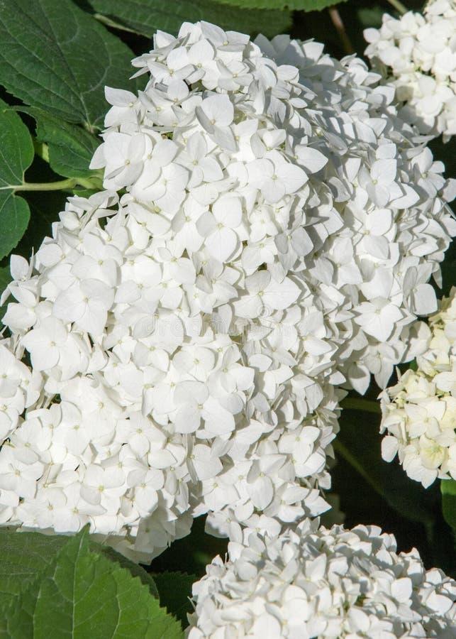 viburnum, guelder wzrastał Jednakowy ściśle połączone highbush cranberry, ja szeroko kultywuje w Północna Ameryka deciduous E obrazy stock