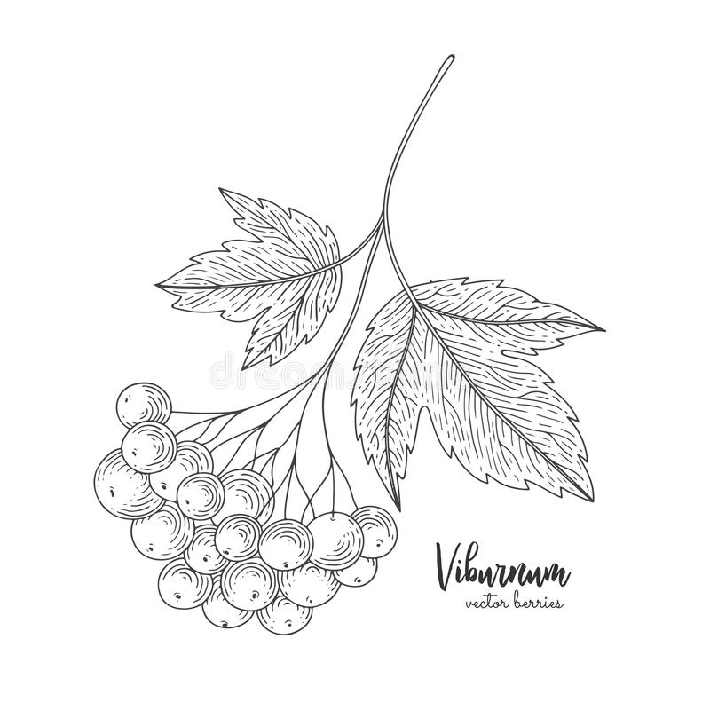 Viburnum hand drawn sketch. Design for package of health and beauty natural products. Healthy food. Engraving vintage vector black royalty free illustration