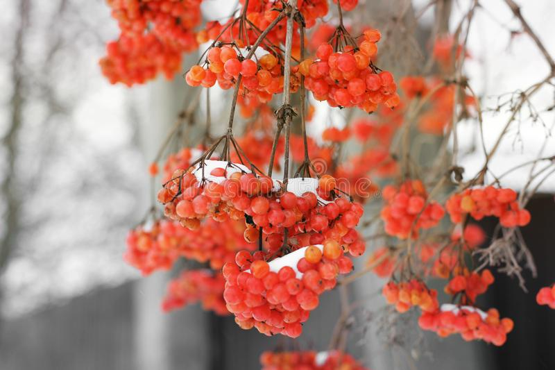 Viburnum i snön royaltyfri foto