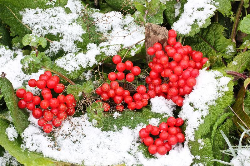 Viburnum i snön arkivfoton